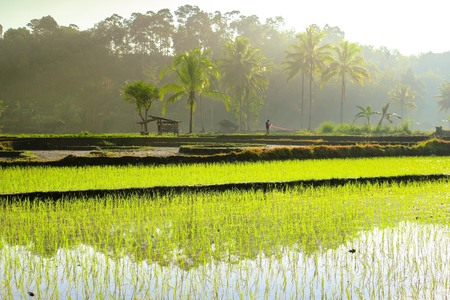 misty morning at paddy fields with farmer activity in the morning story of bengkulu
