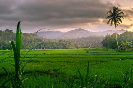 beauty morning with sunrise at paddy fields indonesia Stock Photo