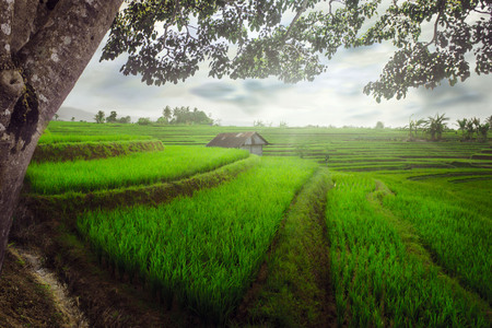 framing of the paddy fields in the morning with beauty sunlight indonesia travel nature Stock Photo
