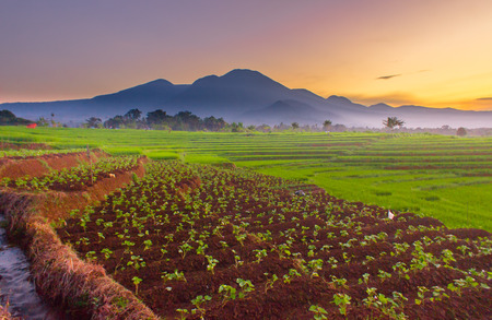 amazing sunrise at paddy fields with color sunrise indonesia