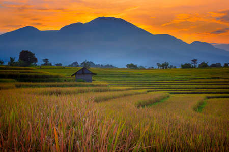 landscape view The vast expanse of yellow rice fields in the morning with the beautiful red blue sky in Bengkulu, Indonesia