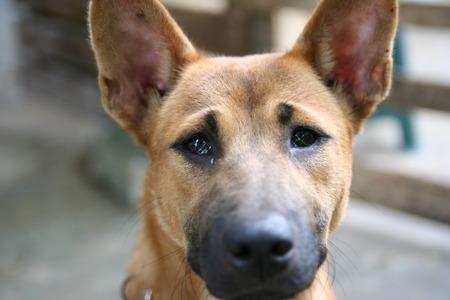 Thailand Dog making a sad face photo