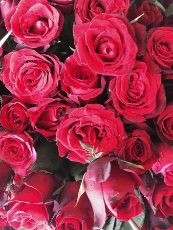 burning bush: Rose