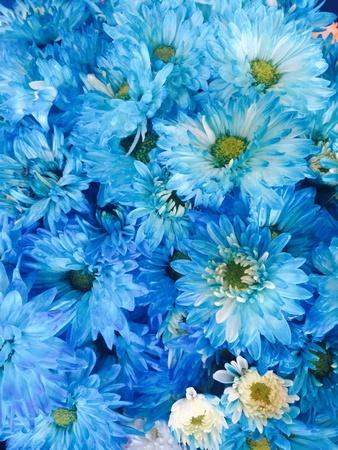 back: blue chrysanthemum flower Stock Photo