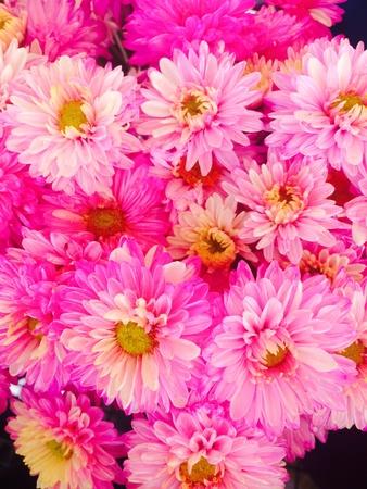 back: pink chrysanthemum flower