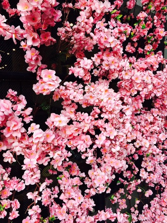 back: The backdrop made of pink cherry blossoms. Stock Photo