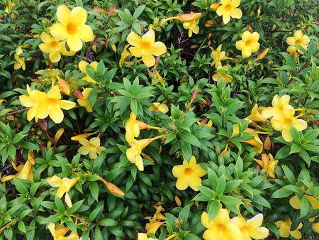 Allamanda cathartica, yellow flower blossom
