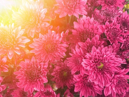 pink  chrysanthemum with sunlight