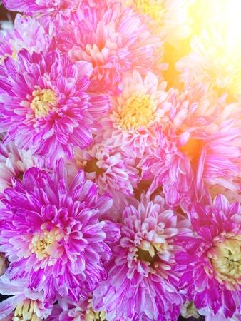 pink  chrysanthemum with sunlight