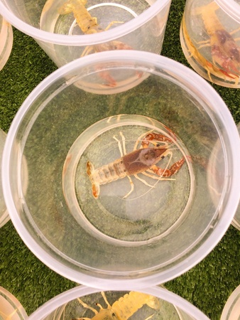 Painted Devil Crayfish baby trand for sell propagate species