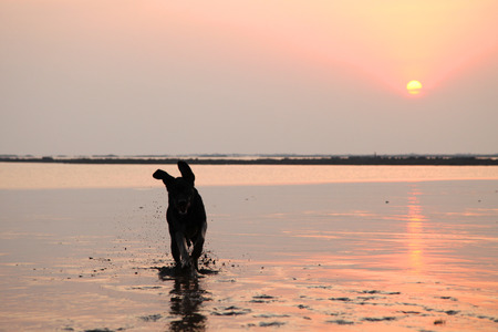Silhouette of Black labrador dog playing at the beach Stock Photo