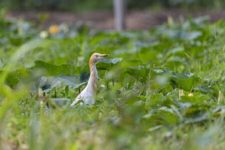 Cattle heron Ardea cinerea standing in a meadow. Looking for food in tall grass. The cattle heron is a long-legged predatory wading bird of the heron family, Ardeidae