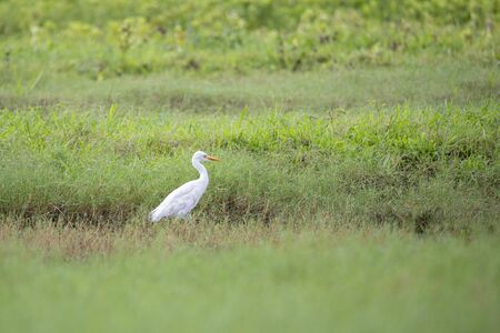 Plumed Egret Ardea Plumilera cinerea standing in a meadow. Looking for food in tall grass. The cattle heron is a long legged predatory wading bird of the heron family Ardeidae Stock Photo
