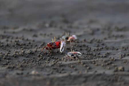 Uca vocans, Fiddler Crab walking in mangrove forest At bassien Beach Mumbai  Maharashtra India.