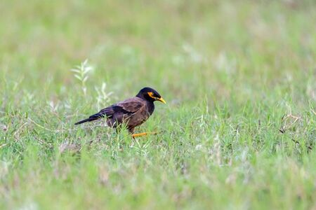 The Common Myna is brown with a black head. It has a yellow bill, legs and eye skin.The Common Myna is a member of the starling family and is also known as the Indian Myna or Indian Mynah.