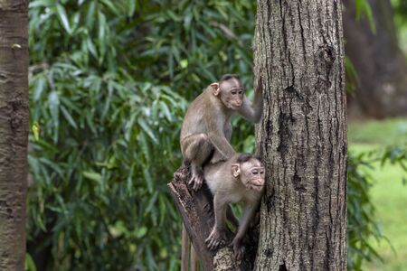 Two monkeys playing on the tree branch in the forest showing emotions to other monkey Sanjay Gandhi National Park Mumbai Maharashtra India. Stock Photo