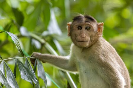 monkey sitting on tree branch in the dark tropical forest in the Sanjay Gandhi National Park Mumbai Maharashtra India.