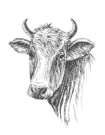 Face of Cow hand drawn on white background Ilustração
