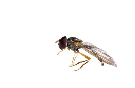 ugly black small macro fly isolated photo