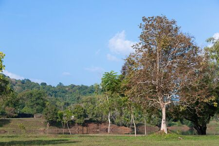 Big yellow tree on the grass field and mountain on background in morning time with clear sky and weather
