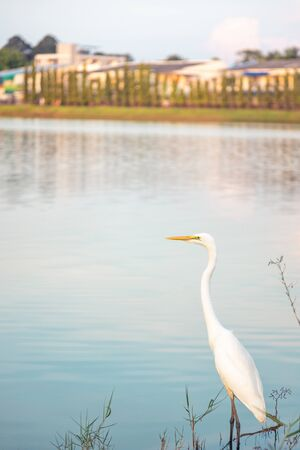 Egret stand waiting for fish come up on the grass sinking in water near the lake with sunlight reflection to show blue sky on water surface, have house oin green coast  - more space on photo