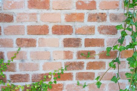 closeup old brick wall without decorate anything, have plant vine to make the frame of picture Imagens