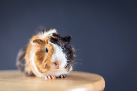 Guinea pig with 3 colors mix - look at camera and sit on a chair in studio with soft black space