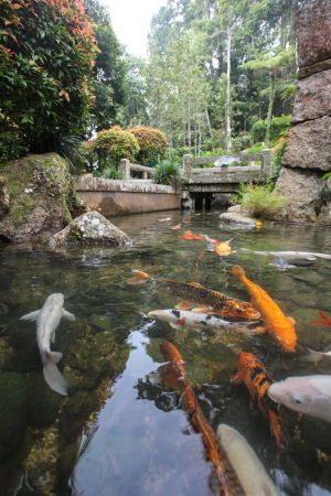 Japanese Carp or  Koi  in the streams and pools