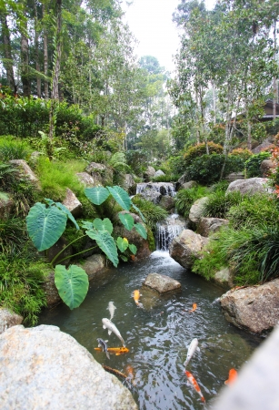 garden pond: Japanese Carp or  Koi  in the streams and pools