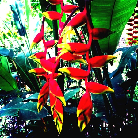 bird of paradise plant: Red Bird of Paradise flower with green leaf Stock Photo