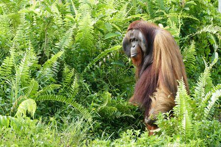 man Orang-Utan Kalimantan Borneo Indosesia