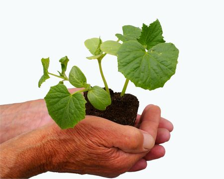 young plant into hands of old man photo