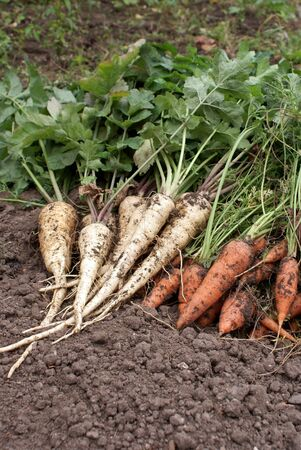 heap of carrots and parsnip against soil