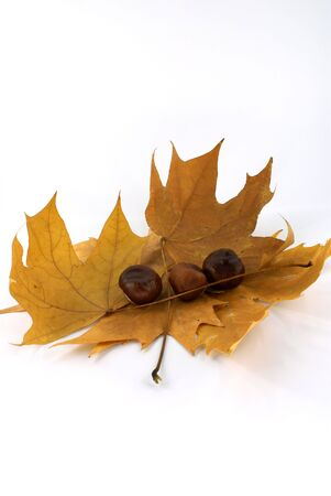 autumn  leaf of maple with chestnut against white background