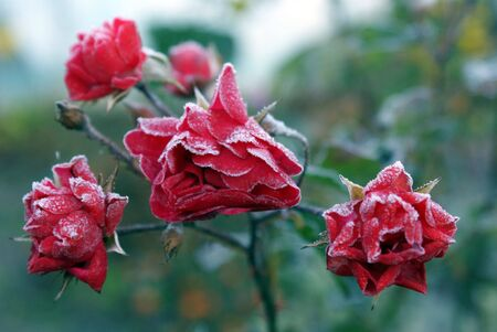 incarnadine: frosted faded rose in frosty morning garden
