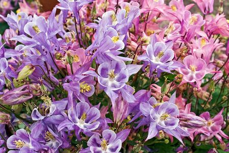 blooming aquilegia in garden
