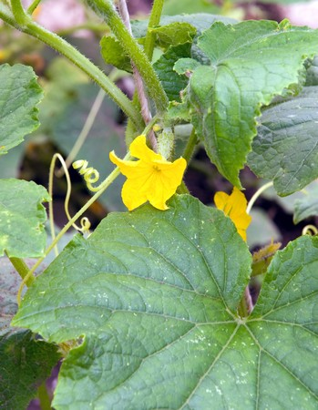 young cucumber in blossom in garden photo