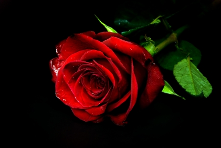 red rose against black background