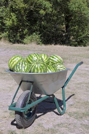 wheelbarrow with heap of watermelons at the festival photo