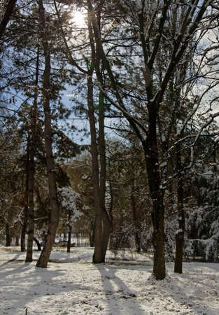 trees covered snow in forest Stock Photo - 12035987