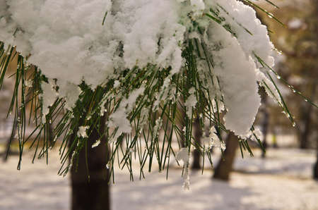 pine covered snow in forest photo