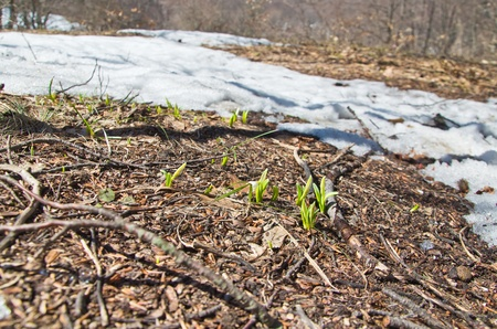 first snowdrops against foliage in forest photo