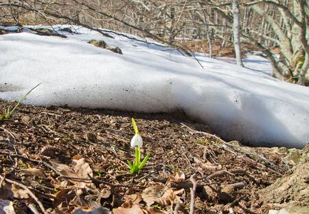 first snowdrop against foliage in forest photo