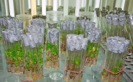cutting grapes in vitro in the laboratory