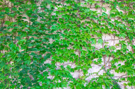 garden wall covered with ivy photo