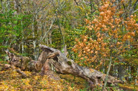 snag: dead snag in autumn forest