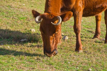 cow grazing on hill close-up photo