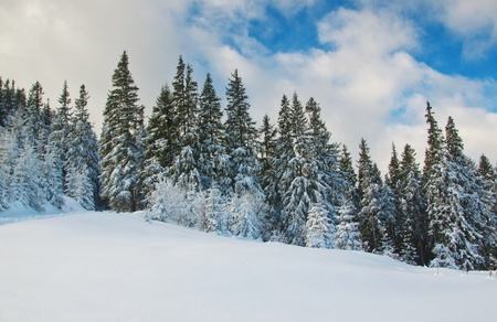 firs against sky in winter Stock Photo - 17453895