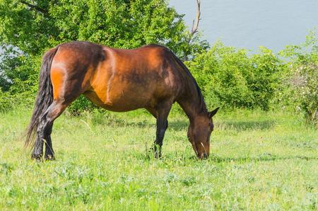 grazer: horse grazing in a pasture near lake Stock Photo