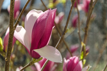 pink magnolia flowers on a sunny day in spring garden Stock Photo